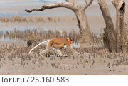 Proboscis monkey (Nasalis larvatus) male with erect penis walking... Стоковое фото, фотограф Jurgen Freund / Nature Picture Library / Фотобанк Лори