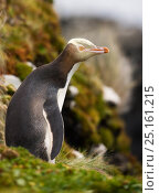 Купить «Yellow-eyed Penguin (Megadyptes antipodes) Auckland Islands, Sub-Antarctic New Zealand, February.», фото № 25161215, снято 20 января 2020 г. (c) Nature Picture Library / Фотобанк Лори