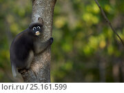 Dusky leaf monkey (Trachypithecus obscurus) clinging to a tree   . Khao Sam Roi Yot National Park, Thailand. March 2015. Стоковое фото, фотограф Anup Shah / Nature Picture Library / Фотобанк Лори