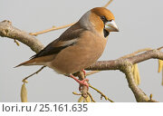 Купить «Hawfinch (Coccothraustes coccothraustes coccothraustes) male perched on branch. Lower Saxony, Germany, February.», фото № 25161635, снято 5 июня 2020 г. (c) Nature Picture Library / Фотобанк Лори