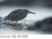 Купить «Lava heron (Butorides sundevalli) on rock, Galapagos. Endemic.», фото № 25161655, снято 17 февраля 2020 г. (c) Nature Picture Library / Фотобанк Лори