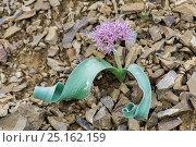 Купить «Onion (Allium materculae) flowering, Khosrow Reserve, Armenia, May.», фото № 25162159, снято 15 августа 2018 г. (c) Nature Picture Library / Фотобанк Лори