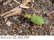 Green tiger beetle (Cicindela campestris) on sandy ground. Peak District National Park, Derbyshire, UK. May. Стоковое фото, фотограф Alex Hyde / Nature Picture Library / Фотобанк Лори