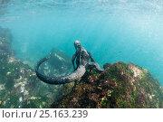 Купить «Marine iguana (Amblyrhynchus cristatus) diving to feed on algae, Punta Vicente Roca, Isabela Island, Galapagos, Ecuador, June.», фото № 25163239, снято 22 марта 2019 г. (c) Nature Picture Library / Фотобанк Лори