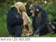 Chimpanzees (Pan troglodytes) playing with hessian bag, captive in zoo. Стоковое фото, фотограф Cyril Ruoso / Nature Picture Library / Фотобанк Лори
