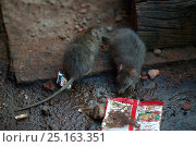 Купить «Brown rats (Rattus norvegicus) foraging at railway station, Agra, India.», фото № 25163351, снято 17 августа 2018 г. (c) Nature Picture Library / Фотобанк Лори