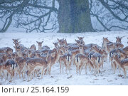Fallow deer heard (Dama dama) in heavy snow in front of beech tree. Chatsworth Park, Derbyshire, Peak Distict National Park. January. Стоковое фото, фотограф Alex Hyde / Nature Picture Library / Фотобанк Лори