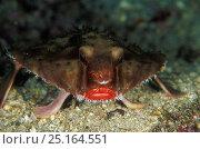 Купить «Rosy lipped batfish (Ogcocephalus porrectus),  Cocos Island, Costa Rica, Pacific Ocean. Small reproduction only», фото № 25164551, снято 18 июня 2019 г. (c) Nature Picture Library / Фотобанк Лори