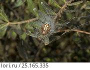 Купить «Oak orb weaver (Aculipeira ceropegia) in web retreat, Menorca. May.», фото № 25165335, снято 25 января 2020 г. (c) Nature Picture Library / Фотобанк Лори