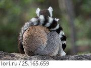 Купить «Ring-tailed lemur (Lemur catta) resting with tail wrapped around body, Anjaha Community Conservation Site, near Ambalavao, Madagascar.», фото № 25165659, снято 22 сентября 2018 г. (c) Nature Picture Library / Фотобанк Лори