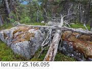 Купить «Fallen Scots pine trees (Pinus sylvestris) with Concentric ring fungus (Arctoparmelia centrifuga) Swedish Lapland, Sweden. July 2013.», фото № 25166095, снято 22 января 2018 г. (c) Nature Picture Library / Фотобанк Лори