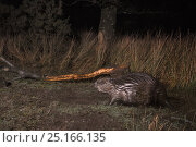 Купить «Eurasian beaver (Castor fiber) emerging from its pond in a large woodland enclosure at night with a branch it has cut and chewed in the background, Devon...», фото № 25166135, снято 16 января 2018 г. (c) Nature Picture Library / Фотобанк Лори