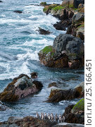 Humboldt penguin (Spheniscus humboldti) group gathering at landing site. Tilgo Island, La Serena, Chile. Vulnerable species. Стоковое фото, фотограф Tui De Roy / Nature Picture Library / Фотобанк Лори