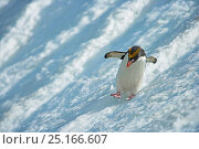 Macaroni Penguin (Eudyptes chrysolophus) sliding down glacier, South Georgia. See 0150019 for cropped version. Стоковое фото, фотограф Andy Rouse / Nature Picture Library / Фотобанк Лори