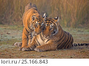 Купить «Bengal tiger (Panthera tigris tigris) female 'T19 Krishna' with 11 month cub, Ranthambore National Park, India.», фото № 25166843, снято 18 сентября 2018 г. (c) Nature Picture Library / Фотобанк Лори