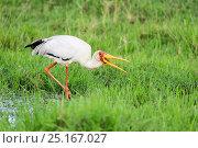 Купить «Tantale ibis (Mycteria ibis) fishing, Masai Mara Game Reserve, Kenya, October.», фото № 25167027, снято 14 июля 2020 г. (c) Nature Picture Library / Фотобанк Лори