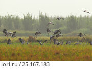Asian open-bill (Anastomus oscitans) flock landing, Mengzi city, HongHe prefecture, Yunnan Province, China, October. Стоковое фото, фотограф Dong Lei / Nature Picture Library / Фотобанк Лори