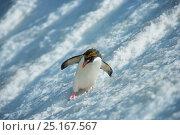 Macaroni Penguin (Eudyptes chrysolophus) sliding down glacier, South Georgia. Crop of 01500168. Стоковое фото, фотограф Andy Rouse / Nature Picture Library / Фотобанк Лори