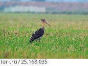Lesser adjutant stork (Leptoptilos javanicus) Mengzi city, Hong He prefecture, Yunnan Province, China, October. Стоковое фото, фотограф Dong Lei / Nature Picture Library / Фотобанк Лори