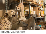Купить «Taxidermy specimens confiscated by the Spanish police at Adolfo Suarez Madrid-Barajas Airport in accordance with CITES, stored in a government warehouse, Spain, October 2014.», фото № 25168459, снято 22 мая 2018 г. (c) Nature Picture Library / Фотобанк Лори