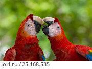 Купить «Scarlet macaws (Ara macao) interacting, Costa Rica.», фото № 25168535, снято 23 июля 2019 г. (c) Nature Picture Library / Фотобанк Лори