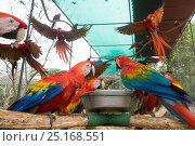 Купить «Scarlet macaw (Ara macao) flock feeding, El Manantial Macaw Sanctuary,  Costa Rica», фото № 25168551, снято 23 июля 2019 г. (c) Nature Picture Library / Фотобанк Лори