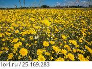 Corn marigolds (Glebionis segetum) being grown for seed by Landlife, Inglenook Farm, Rainford, Merseyside, UK, June. Стоковое фото, фотограф Ann & Steve Toon / Nature Picture Library / Фотобанк Лори