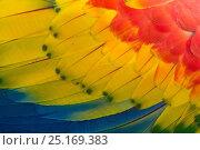 Купить «RF- Scarlet macaw (Ara macao) close up of feathers, El Manantial Macaw Sanctuary, Costa Rica. Captive.», фото № 25169383, снято 23 июля 2019 г. (c) Nature Picture Library / Фотобанк Лори