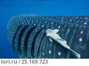 Купить «Whale shark (Rhincodon typus) with a remora (Remora sp) attached behind the gills, Gulf of Mexico, Mexico, Caribbean Sea.», фото № 25169723, снято 21 августа 2018 г. (c) Nature Picture Library / Фотобанк Лори