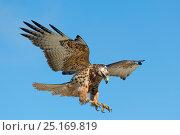 Купить «Galapagos hawk (Buteo galapagoensis) landing, Galapagos, Ecuador. Vulnerable species.», фото № 25169819, снято 17 июля 2019 г. (c) Nature Picture Library / Фотобанк Лори