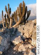 Humboldt penguin (Spheniscus humboldti) nest with chicks in habitat on desert island. Tilgo Island, La Serena, Chile. Vulnerable species. Стоковое фото, фотограф Tui De Roy / Nature Picture Library / Фотобанк Лори