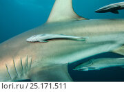 Купить «Remora (Remora remora) attached to Oceanic Black tip shark (Carcharhinus limbatus) Umkomaas. KwaZulu Natal, South Africa.», фото № 25171511, снято 27 марта 2019 г. (c) Nature Picture Library / Фотобанк Лори