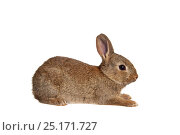 Купить «European rabbit (Oryctolagus cuniculus), garden in Barnt Green, Worcestershire, UK, May. meetyourneighbours.net project», фото № 25171727, снято 8 февраля 2018 г. (c) Nature Picture Library / Фотобанк Лори