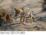 Argentine grey fox (Pseudalopex griseus) Peninsula Valdez, Chubut, Patagonia, Argentina. Стоковое фото, фотограф Gabriel Rojo / Nature Picture Library / Фотобанк Лори