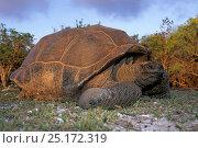 Giant tortoise (Geochelone gigantea), Aldabra Atoll, Natural World Heritage Site, Seychelles, Indian Ocean. Стоковое фото, фотограф Franco Banfi / Nature Picture Library / Фотобанк Лори