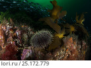 Купить «Kina, sea urchin (Evechinus chloroticus) in Breaksea Sound, Fiordland National Park, New Zealand.», фото № 25172779, снято 16 июля 2020 г. (c) Nature Picture Library / Фотобанк Лори