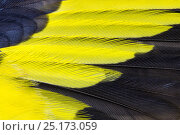 Купить «Goldfinch (Carduelis carduelis) close up of wing feathers. Derbyshire, UK. Dead specimen.», фото № 25173059, снято 19 марта 2019 г. (c) Nature Picture Library / Фотобанк Лори