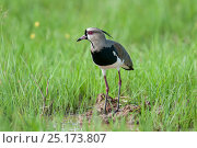 Male Southern Lapwing (Vanellus chilensis) displaying near its nest, Hato La Aurora Reserve, Los Llanos, Colombia, South America. Стоковое фото, фотограф Nick Garbutt / Nature Picture Library / Фотобанк Лори