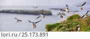 Купить «Atlantic Puffins (Fratercula arctica) flying near cliff top, Isle of Lunga, Isle of Mull, Treshnish Isles, Scotland, UK, June.», фото № 25173891, снято 17 июля 2018 г. (c) Nature Picture Library / Фотобанк Лори