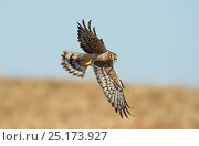 Female Montagu's harrier (Circus pygargus) returning to nest site with prey - a large green caterpillar. . Guerreiro, Castro Verde, Alentejo, Portugal, May. Стоковое фото, фотограф Roger Powell / Nature Picture Library / Фотобанк Лори