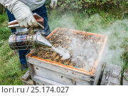 Купить «Beekeeper using a bee smoker to calm the European honey bees (Apis mellifera) before inspecting them, Monmouthshire, UK, Wales. September.», фото № 25174027, снято 20 августа 2018 г. (c) Nature Picture Library / Фотобанк Лори