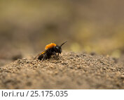 Tawny miner bee (Andrena fulva) female at nest in soil, Sheffield, England, UK, May. Стоковое фото, фотограф Paul Hobson / Nature Picture Library / Фотобанк Лори