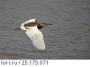 Купить «Indian pond heron (Ardeola grayii) in flight over water, India, January.», фото № 25175071, снято 16 июня 2019 г. (c) Nature Picture Library / Фотобанк Лори