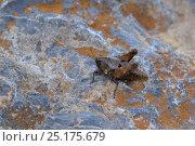 Купить «Ground Hopper (Tetrix bipunctata) Fort de Rimplas, Mercantour National Park, Provence, France, June.», фото № 25175679, снято 31 марта 2020 г. (c) Nature Picture Library / Фотобанк Лори