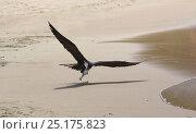 Купить «Magnificent frigatebird (Fregata magnificens) snatching small fish off the beach. Tobago, West Indies.», фото № 25175823, снято 19 июля 2019 г. (c) Nature Picture Library / Фотобанк Лори