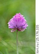 Купить «Round-headed leek (Allium sphaerocephalon) Valsavarenche, Italian Alps, Italy. Focus stacked image.», фото № 25176335, снято 15 августа 2018 г. (c) Nature Picture Library / Фотобанк Лори