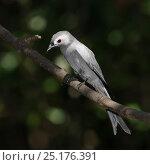 Купить «Ashy drongo (Dicrurus leucophaeus leucogenis) perched, Thailand, February», фото № 25176391, снято 21 августа 2019 г. (c) Nature Picture Library / Фотобанк Лори