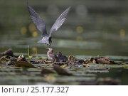 Купить «Black tern (Chlidonias niger) feeding young at the nest, Seddinsee, Brandenburg, Germany, June.», фото № 25177327, снято 3 апреля 2020 г. (c) Nature Picture Library / Фотобанк Лори