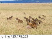 Купить «Spotted hyaenas (Crocuta crocuta) pack with kill stolen from Lions, Masai-Mara game reserve, Kenya.», фото № 25178263, снято 19 января 2020 г. (c) Nature Picture Library / Фотобанк Лори
