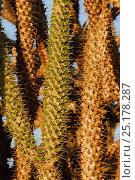 Купить «Madagascar ocotillo (Alluaudia procera) Berenty Reserve, Madagascar.», фото № 25178287, снято 20 июля 2018 г. (c) Nature Picture Library / Фотобанк Лори